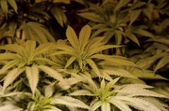 Defending against marijuana possession